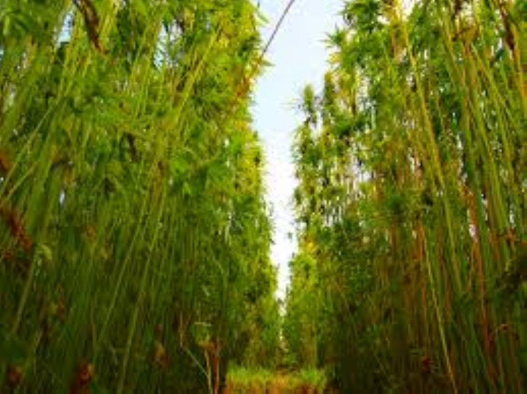 Georgia Industrial Hemp Bill Introduced … And More