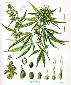 components of the hemp plant
