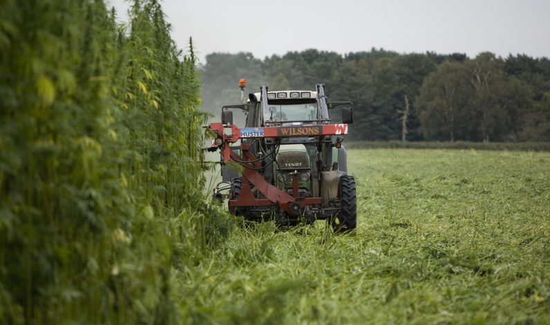 Farming industrial hemp