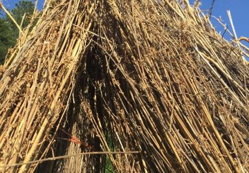 Dried Hemp Stalks